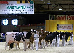 [photo, Cow Judging, Maryland State Fair, Timonium, Maryland]