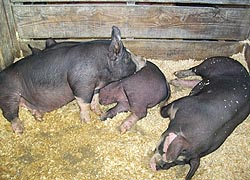 [photo, Hogs at Maryland State Fair, Timonium, Maryland]