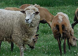 [photo, Sheep, Hagerstown, Maryland]