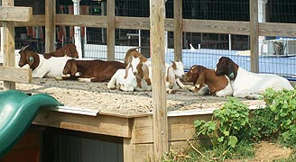 [photo, Goat mountain, Maryland State Fair, Timonium, Maryland]