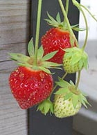 [photo, Strawberries, Baltimore, Maryland]