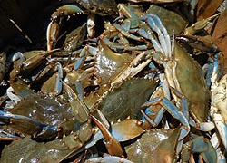 [photo, Blue Crabs, Lusby, Maryland]