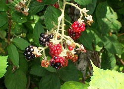 [photo, Black Raspberries, Baltimore, Maryland]