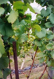 [photo, Grapevines, Woodville (Frederick County), Maryland]