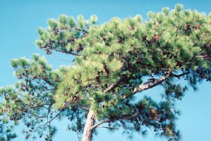 [photo, Loblolly pine, Prince George's County, Maryland]