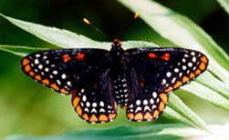 [photo, Baltimore Checkerspot Butterfly]