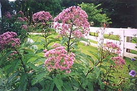 [photo, Joe-Pye Weed at Hancock's Resolution, 2795 Bayside Beach Road, Pasadena, Maryland]