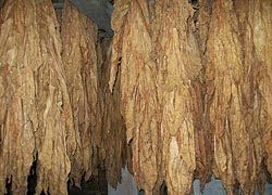 [photo, Dried tobacco, Mount Harmon Plantation, 600 Mt. Harmon Road, Earlville (Cecil County), Maryland]
