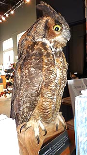 [photo, Great Horned Owl (stuffed), Delmarva Discovery Center and Museum, 2 Market St., Pocomoke City, Maryland]