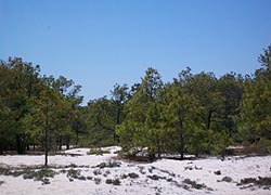 [photo, Loblolly pine forest, Assateague Island National Seashore (Worcester County), Maryland]