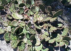 [photo, Prickly Pear Cactus, Assateague Island National Park Seashore (Worcester County), Maryland]