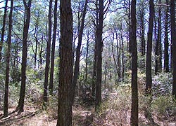 [photo, Loblolly pine forest, Assateague Island National Park Seashore (Worcester County), Maryland]