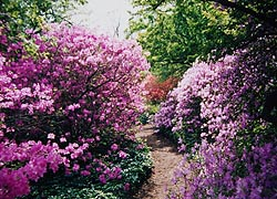 [photo, Azaleas at Ladew Topiary Gardens, Monkton, Maryland]