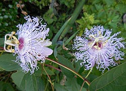 [photo, Passion Flowers, Glen Burnie, Maryland]