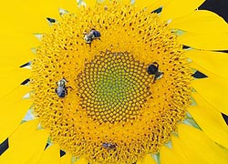 [photo, Bumblebees and a honeybee alight on a sunflower, Baltimore, Maryland]