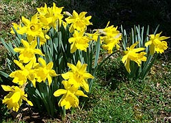 [photo, Daffodils, Baltimore, Maryland]