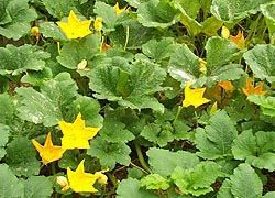 [photo, Pumpkin vines with flowers, Baltimore, Maryland]