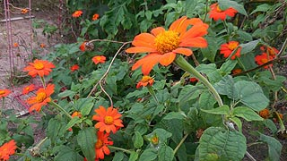 [photo, Mexican sunflowers (Tithonia diversiflolia), Kinder Farm Park, Millersville, Maryland]