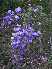 [photo, Chinese Wisteria (Wisteria  sinensis), Glen Burnie, Maryland]