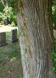 [photo, Red Cedar (Juniperus virginiana) at cemetery, Owings (Anne Arundel County), Maryland]