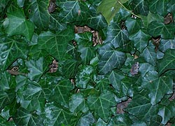 [photo, English Ivy (Hedera helix), Baltimore, Maryland]