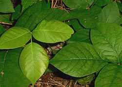 [photo, Poison Ivy (Toxicodendron radicans), Glen Burnie, Maryland]