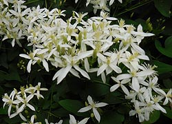 [photo, Sweet Autumn Clematis (Clematis terniflora), Crownsville, Maryland]