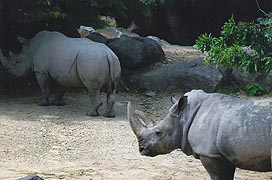 [photo, Southern White Rhinos (Ceratotherium simum simum), Maryland Zoo in Baltimore, 1876 Mansion House Drive, Baltimore, Maryland]
