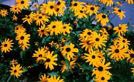 [photo, Black-Eyed Susans, Anne Arundel County, Maryland]