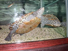 [photo, Northern Diamondback Terrapin (Malaclemys t. terrapin), Tawes Building, Dept. of Natural Resources, Annapolis, Maryland]