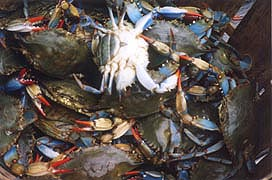 [photo, Blue crabs (sooks), Lusby, Maryland]