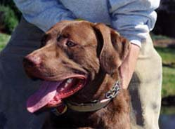 [photo, Chesapeake Bay Retriever, Annapolis, Maryland]