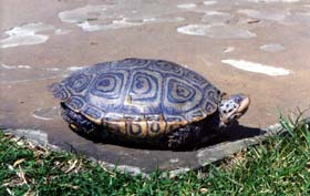 [photo, Diamondback Terrapin (side view), Annapolis, Maryland]