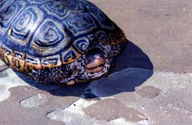 [photo, Diamondback Terrapin (view of upper shell and retracted head), Annapolis, Maryland]