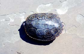 [photo, Diamondback Terrapin (view of upper shell), Annapolis, Maryland]