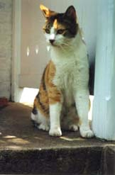 [photo, Young calico cat]