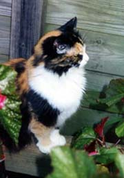 [photo, Calico cat, Annapolis, Maryland]