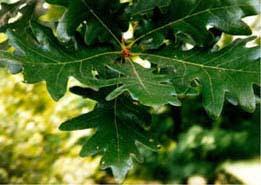 White oak trees around the world