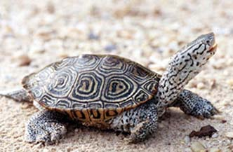 Diamondback Terrapin, Maryland State Reptile