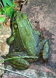 [photo, Northern Green Frog (Lithobates clamitans melanota), Monkton, Maryland]