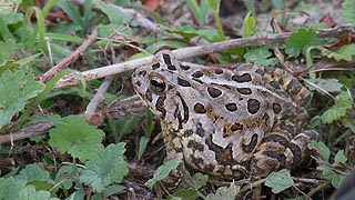 [photo, Fowler's Toad (Anaxyrus fowleri), Glen Burnie, Maryland]