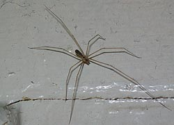 [photo, Cellar Spider (Pholcus phalangioides), Baltimore, Maryland]