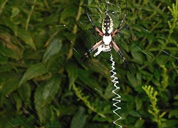 [photo, Black and Yellow Orb-Weaver Spider (Argiope aurantia), Glen Burnie, Maryland]