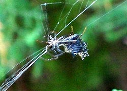 [photo, Spined Micrathena Spider, Baltimore, Maryland]
