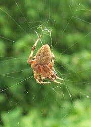 [photo, Barn Spider (Neoscona crucifera), Baltimore, Maryland]