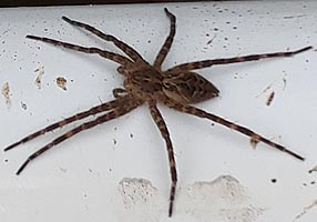 [photo, Fishing Spider (Dolomedes spp.), Back Creek, Annapolis, Maryland]