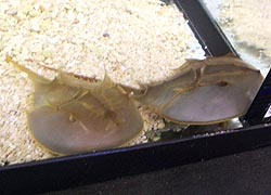 [photo, Horseshoe Crabs (order Xiphosura), Dept. of Natural Resources exhibit, Maryland State Fair, Timonium, Maryland]