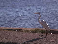 [photo, Great Egret (Ardea alba), Fort Armistead Park, Baltimore, Maryland]