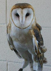 [photo, Barn Owl at Maryland State Fair, Timonium, Maryland]