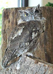 [photo, Eastern Screech Owl at Maryland State Fair, Timonium, Maryland]